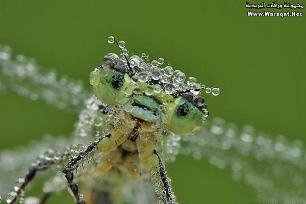 اضغط على الصورة لعرض أكبر  الاســـم:Drops-Insects2[1].jpg المشاهدات:229 الحجـــم:50.2 كيلوبايت الرقم:63301
