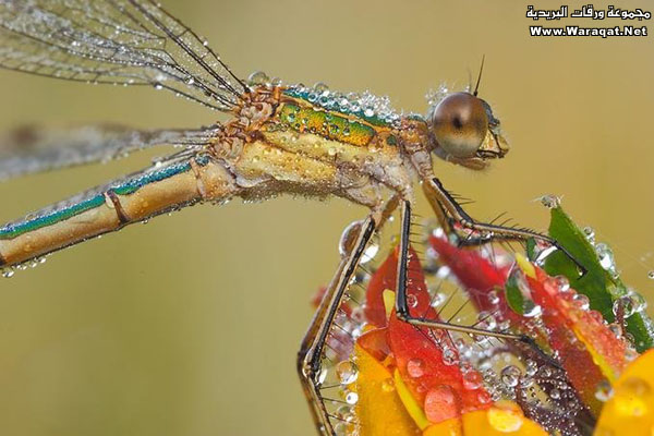 اضغط على الصورة لعرض أكبر  الاســـم:Drops-Insects3[1].jpg المشاهدات:183 الحجـــم:73.8 كيلوبايت الرقم:63302