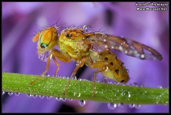 اضغط على الصورة لعرض أكبر  الاســـم:Drops-Insects4[1].jpg المشاهدات:221 الحجـــم:70.2 كيلوبايت الرقم:63303