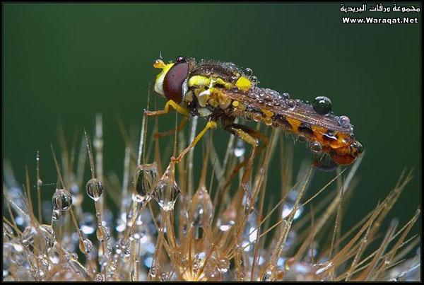 اضغط على الصورة لعرض أكبر  الاســـم:Drops-Insects5[1].jpg المشاهدات:136 الحجـــم:73.5 كيلوبايت الرقم:63304