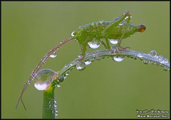 اضغط على الصورة لعرض أكبر  الاســـم:Drops-Insects9[1].jpg المشاهدات:206 الحجـــم:49.0 كيلوبايت الرقم:63308