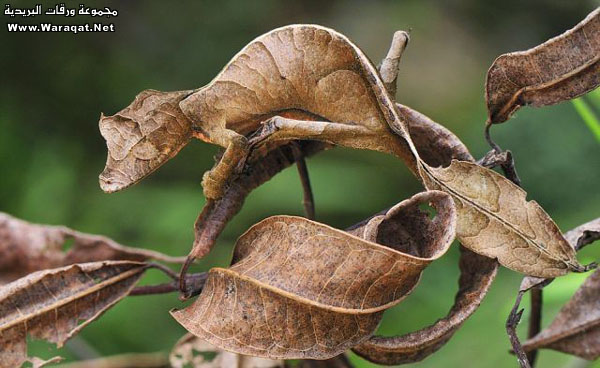���� ��� ������ ���� ����  ��������:Insect-chameleon2[1].jpg ���������:5959 ��������:79.0 �������� �����:63310