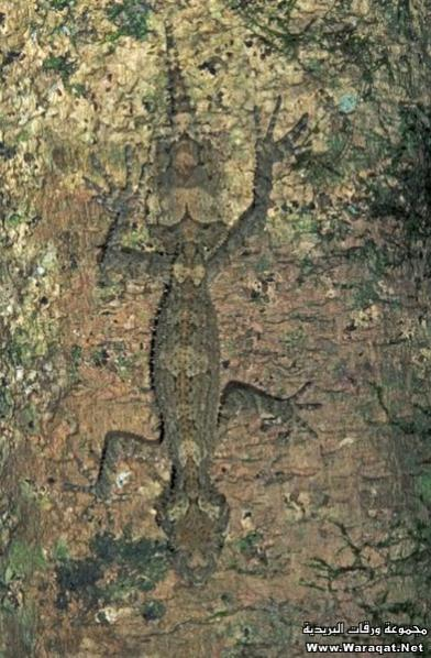 اضغط على الصورة لعرض أكبر  الاســـم:Insect-chameleon7[1].jpg المشاهدات:402 الحجـــم:56.4 كيلوبايت الرقم:63314