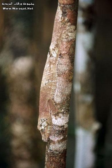 اضغط على الصورة لعرض أكبر  الاســـم:Insect-chameleon8[1].jpg المشاهدات:430 الحجـــم:52.8 كيلوبايت الرقم:63315