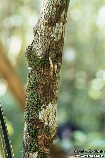 اضغط على الصورة لعرض أكبر  الاســـم:Insect-chameleon9[1].jpg المشاهدات:307 الحجـــم:72.9 كيلوبايت الرقم:63316